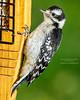 Juvenile Woodpecker