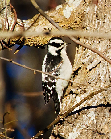 Downy Woodpecker 3