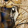 Downy Woodpecker 3