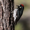 Acorn Woodpecker_Cleveland NF_CA-9516
