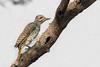 Nubian Woodpecker, Kenya