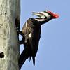 Description - Pileated Woodpecker <b>Title - Woodchuckin'</b> <i>- Sandy Jarvinen</i>