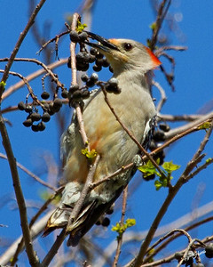 Red Bellied Woodpecker 2