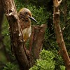 Golden-fronted Woodpecker (22)