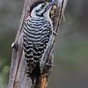 Ladder-backed Woodpecker (Dryobates scalaris)