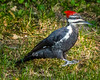 Hopping Pileated