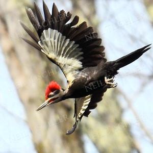#1161  Pileated Woodpecker, male, in flight