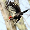 #1161  Pileated Woodpecker, male, in flight