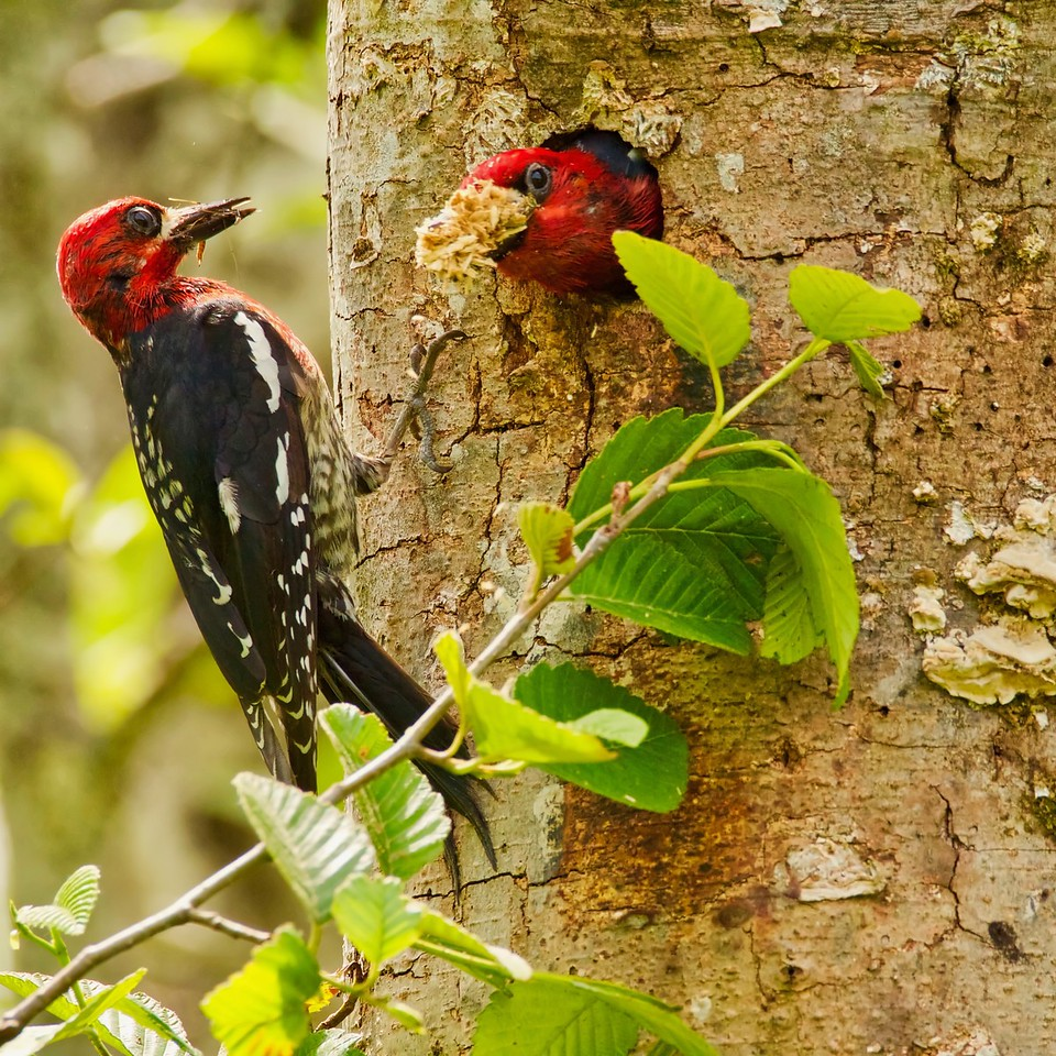 Red-breasted Sapsuckers