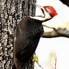 #1179  Pileated Woodpecker, male