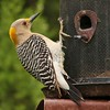 Golden-fronted Woodpecker (14)