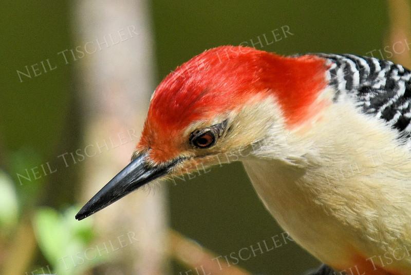 #1185  Red-bellied Woodpecker portrait, male