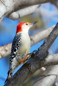 #659  A red bellied woodpecker