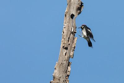 An acorn woodpecker making a perfect landing!