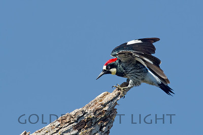 Acorn Woodpecker, Eastman Lake California