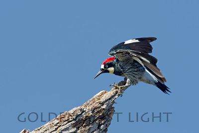 Acorn Woodpecker, Eastman Lake California