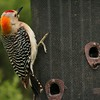 Golden-fronted Woodpecker (13)
