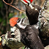 Description - Pileated Woodpeckers <b>Title - Pileated Woodpecker Dad With Baby</b> <i>- Ruth Pannunzio</i>