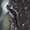 American Three-toed Woodpecker_Tumbler Ridge area_BC_Canada-002472