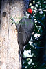 Pileated Woodpecker7501