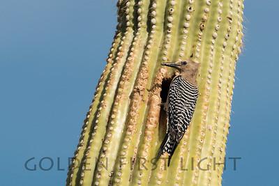 Gila Woodpecker, Saguaro National Park (Rincon) Arizona