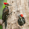 Female Adult Pileated Woodpecker and Chick