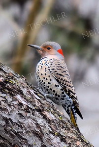 #1167  Flicker, juvenile  female