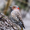 #1167  Flicker, female