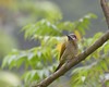 Golden-olive Woodpecker, Asa Wright Trinidad