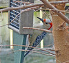 Red-bellied Woodpecker,