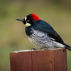 Acorn Woodpecker, Point Reyes National Seashore, California