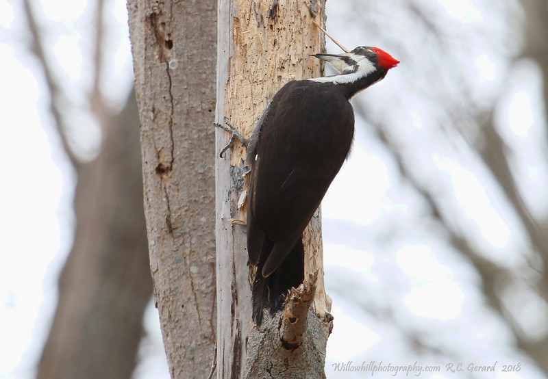 Pileated Woodpecker - Madison, CT