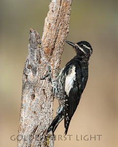 Williamson's Sapsucker, central Oregon