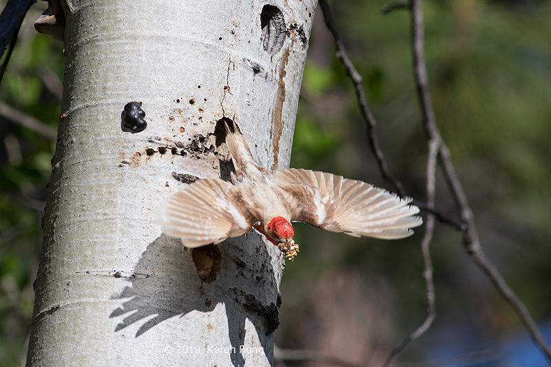 19 June: Leucistic male Red-breasted Sapsucker