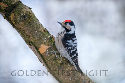 Lesser Spotted Woodpecker, Ivalo Finland