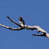 Acorn Woodpecker_Sycamore Cyn_VenCo_CA-7019