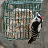 Downy Woodpecker (Male) <br /> Bridgeton, Missouri <br /> 2004-12-25<br /> <br /> No. 23 on my Lifetime List of Birds <br /> Photographed in Missouri.