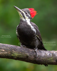 Pileated Wodpecker