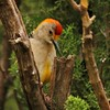 Golden-fronted Woodpecker (16)