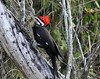 Description - Pileated Woodpecker <b>Title - Pileated Woodpecker</b> <i>- Sandy Jarvinen</i>