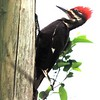 <b>Title - Pileated Woodpecker Contemplating</b> <i>- Peggy VanArman</i>