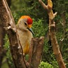 Golden-fronted Woodpecker (17)