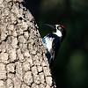Acorn Woodpecker_Madera Cyn_AZ-2703