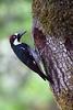 AcornWoodpecker5348