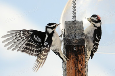#1382  A male and a female downy woodpecker face off on  the suet feeder.