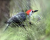 Description - Red-bellied Woodpecker in Slash Pine Needles <b>Title - Red-Bellied Woodpecker</b> <i>- Kit Snider</i>