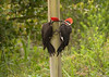 Description - Pileated Woodpeckers <b>Title - A Couple Of Pileated Woodpeckers</b> <i>- Charles O. Slavens</i>
