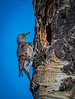 Northern Flicker Red Shafted