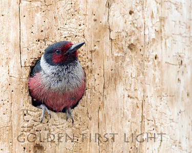 Lewis's Woodpecker, central Oregon