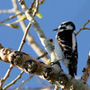 Downy Woodpecker (1)